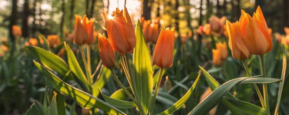 Orange tulips in a forest at sunset
